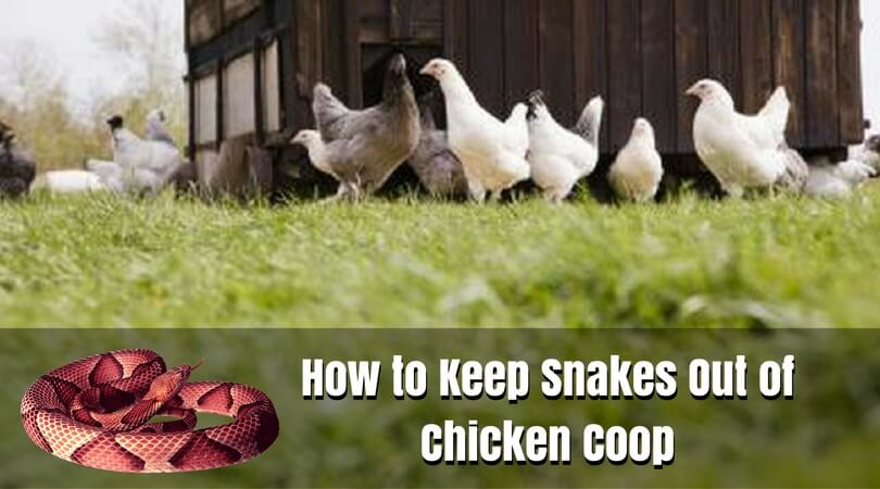 How To Archives Royal Chicken Coops