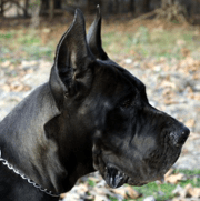 Royal Elite's Great Dane Dam - Abby