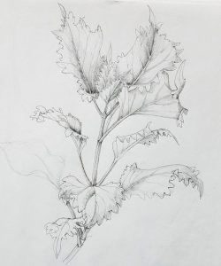 Botanical Drawing @ Art in the Valley