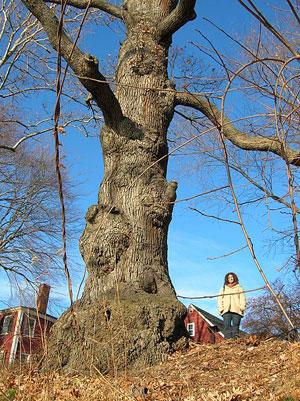 Worshipping Oak Haverhill, MA