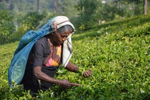 ceylon tea PLANTATION