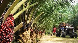 Oil palm growers commend Buhari, CBN for empowering small holder farmers