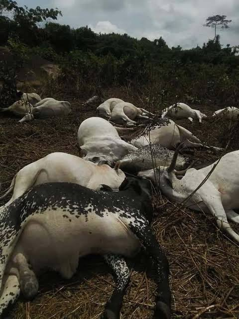 Environmental experts supervise mass burial for cows in Ondo
