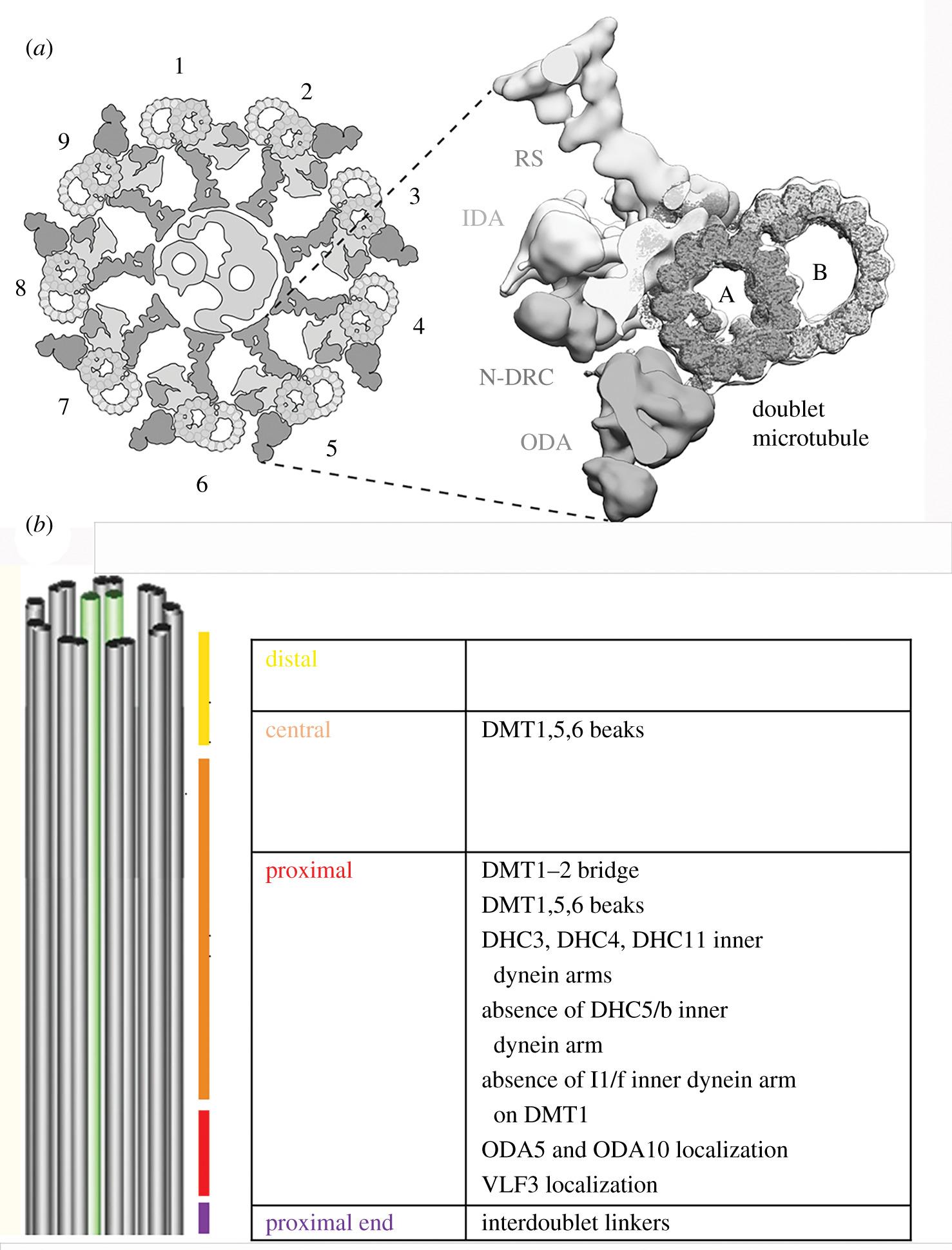 Asymmetries In The Cilia Of Chlamydomonas