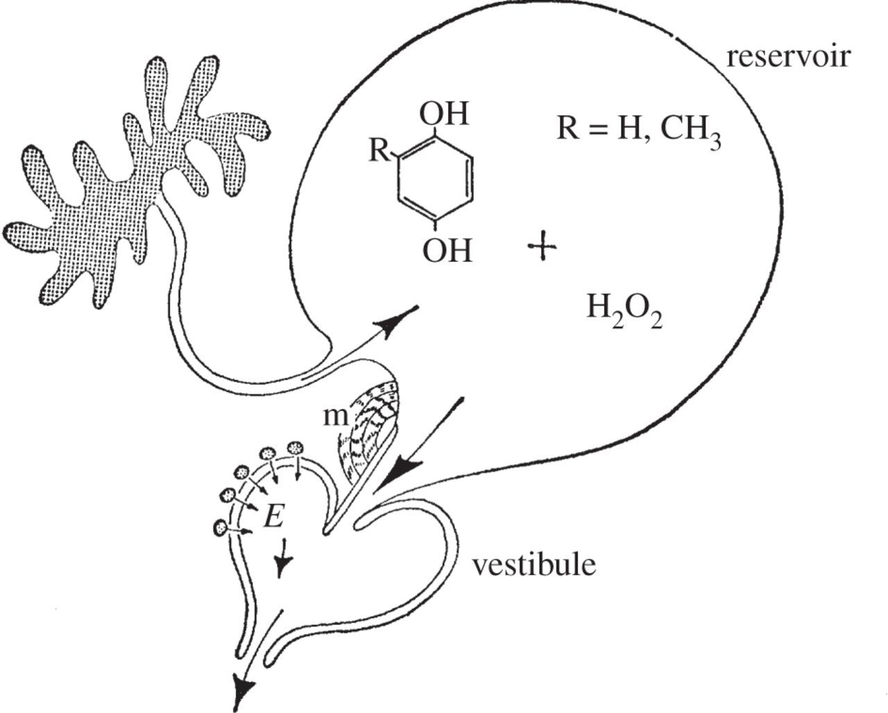 A Mathematical Model Of The Defence Mechanism Of Aar R Beetle