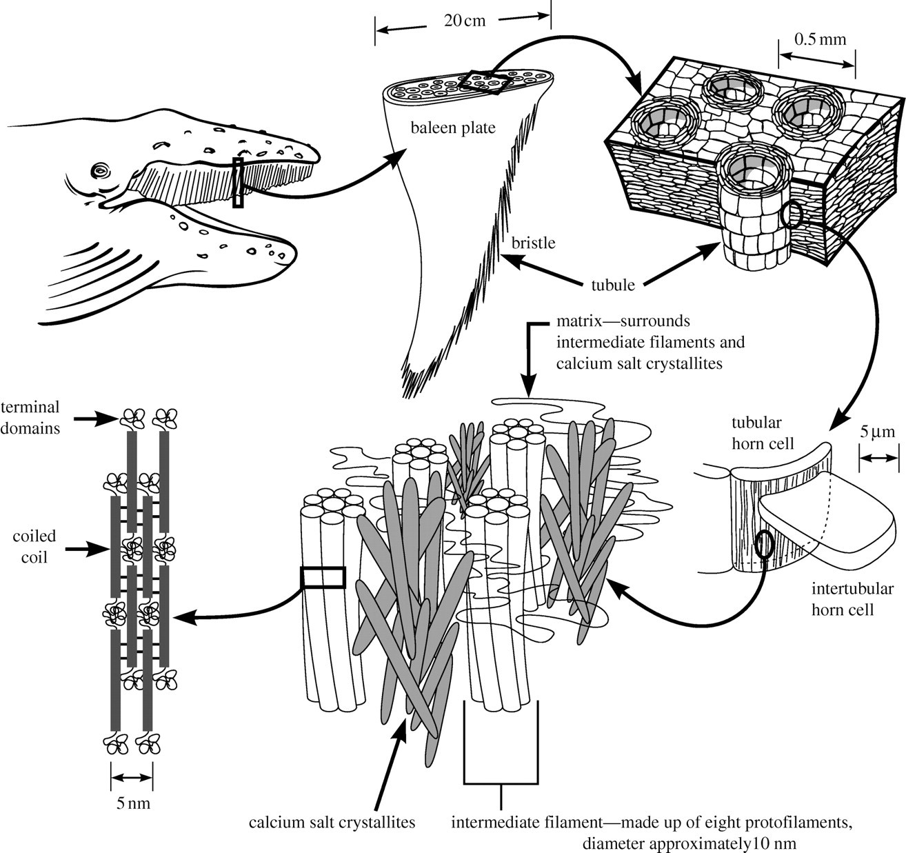 Calcification Provides Mechanical Reinforcement To Whale