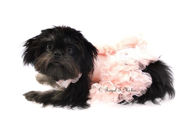 rayne-royal-t-mi-kis-brindle-mi-ki-puppy2