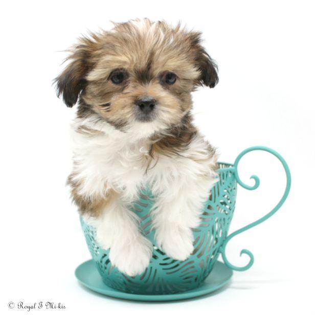 long-coat-sable-white-Miki-puppy-3-3-18