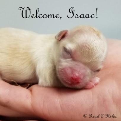 Isaac_Mi-ki_Puppy_20180918_Royal-T-Mi-kis-3c