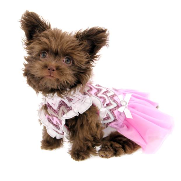 46232328f9c2 ... our light chocolate Truffle also is an adorable model! Here she shows  off her romantic fashion sense in the. Worthy Dog Pink Floral Dog ...