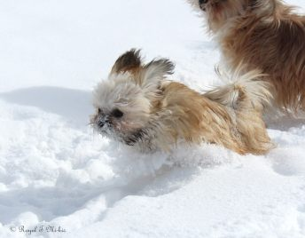 Mi-ki_puppy_Royal-T_Isabelle_snow-4c