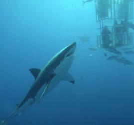 Roy Orbison Jr Sharkdiving