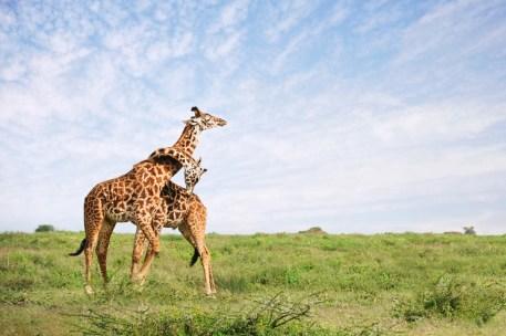 giraffe-embrace-serengeti-tanzania-nikon-d700-18-200mm-david-lazar