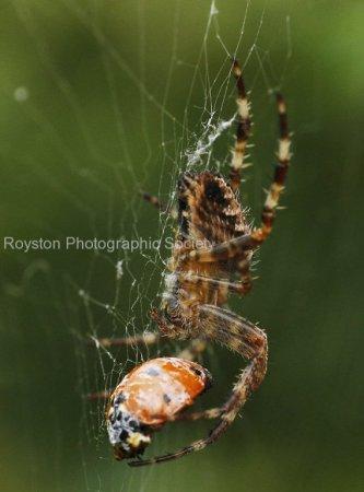 spider and ladybird