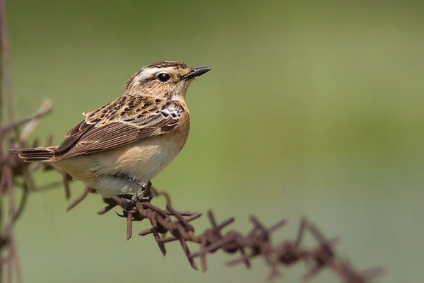 28bx_4535_Whinchat_600pix