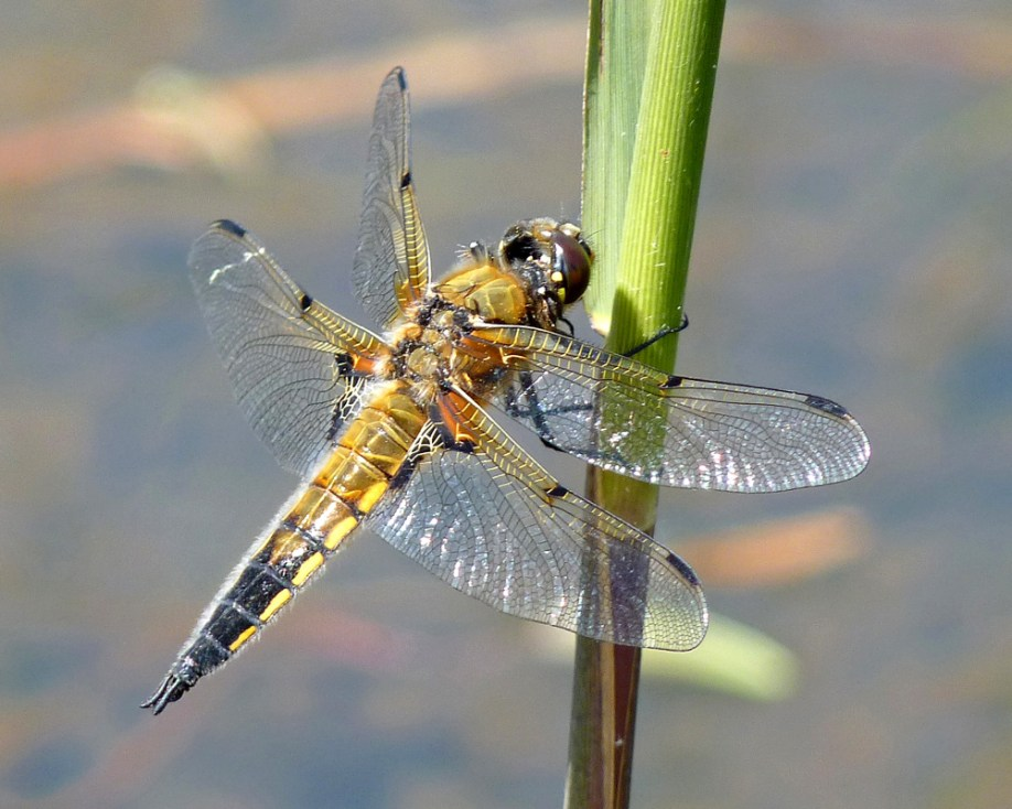 8 Four Spotted Chaser Dragonfly MJ