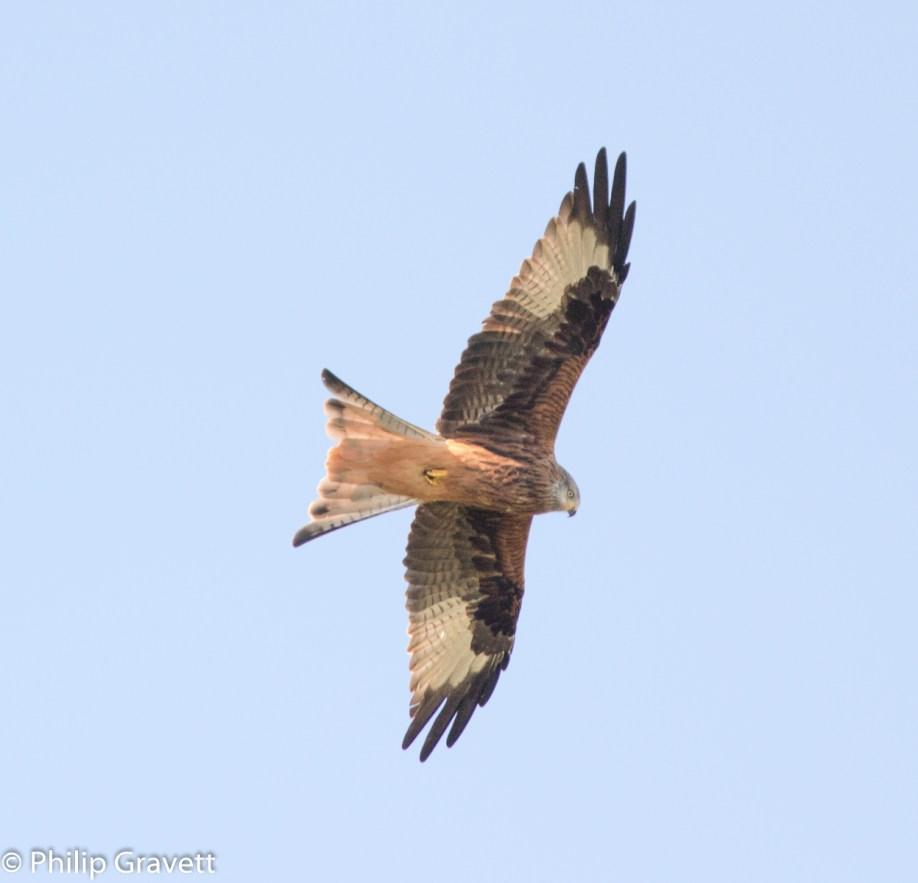 Kite - Phil Gravett
