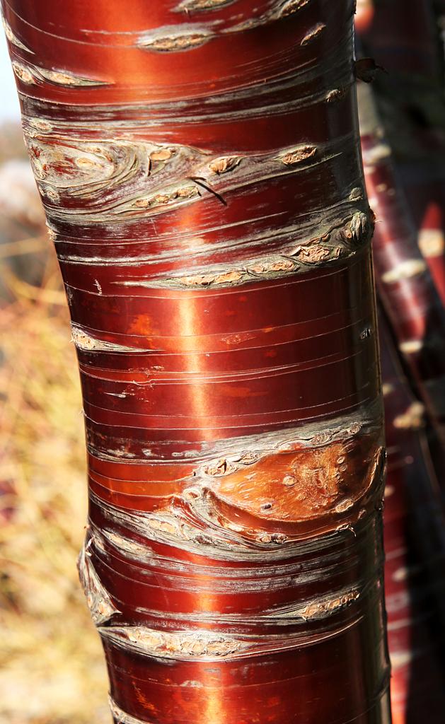 Polished Bark