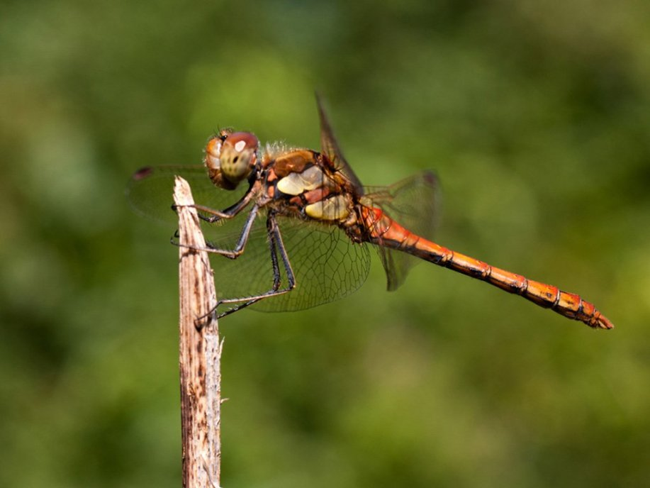 common-darter_
