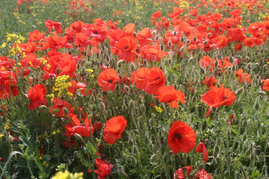 poppies-at-harston