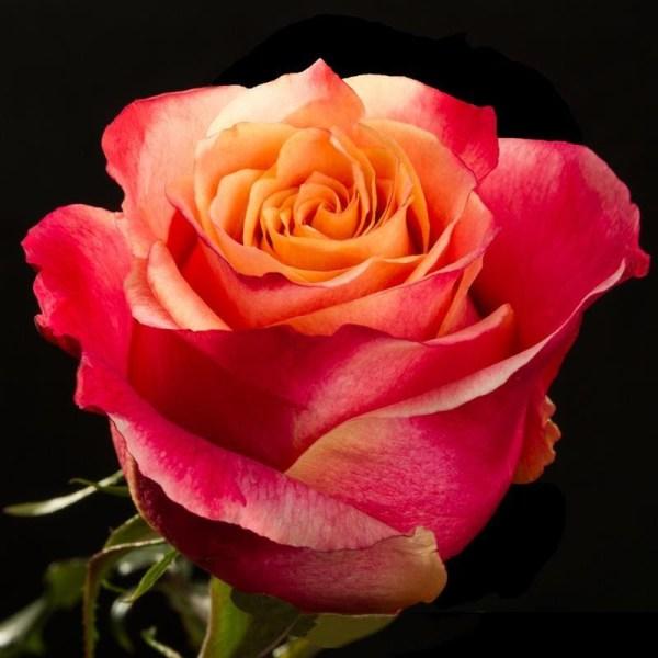 Розы чайно-гибридные 3Д