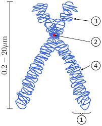 गुणसूत्र की संरचना