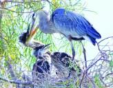 Blue Heron parent feeds her chicks