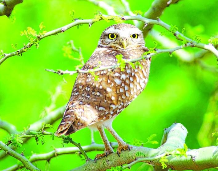 Burrowing Owl in a palo verde tree