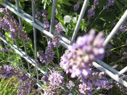 Hummel-freier Lavendel