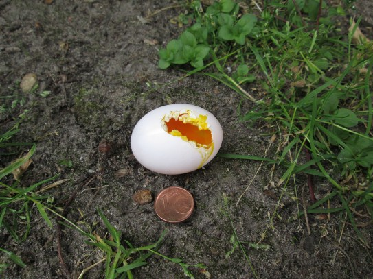 Das angenagte Ei mit Cent zum Größenvergleich