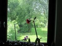 Martinas Stolz, endlich hat es eine Amaryllis mal geschafft zu blühen (1 Blüte hat sie allerdings vor Prachtentfaltung abgeworfen)