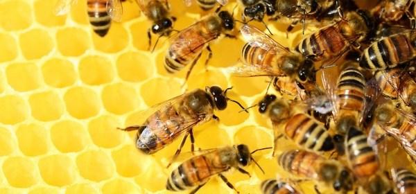 Sector público y privado trabajan para aumentar la producción de miel