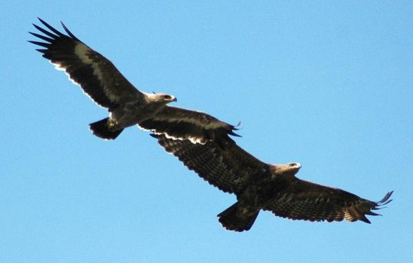About the Steppe Eagle