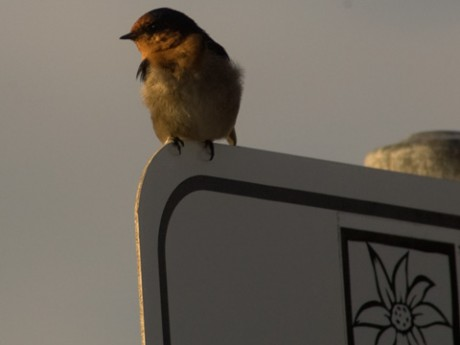 You'll see the Welcome Swallow (Hirundo neoxena) around most settled regions in Australia