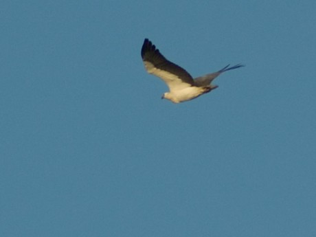 White-breasted sea eagle looking for some tucker from above Northy just before Huey dims the houselights on another day.