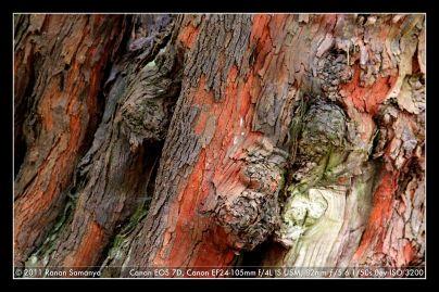 Beneath the black skin of Manarasa trees (Vaccinium sp.) are a bright orange and white bark.