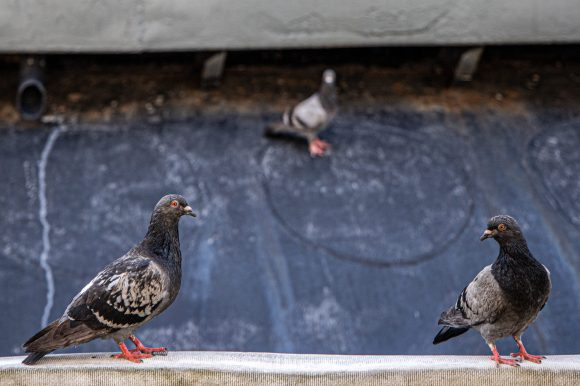 Three pigeons, sitting in a triangular pattern, with two in the foreground and one in the background.
