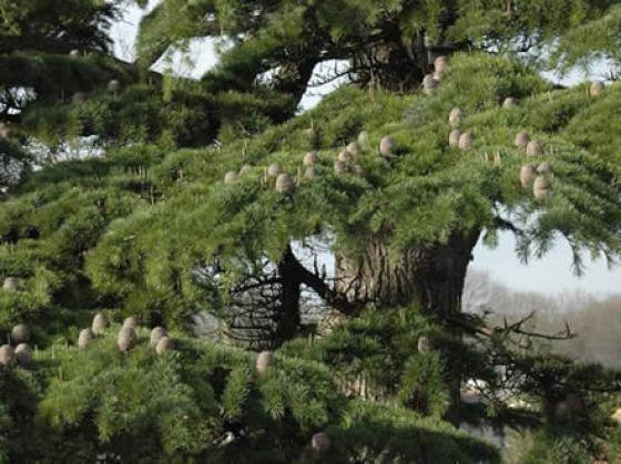 Binstead Cemetery tree
