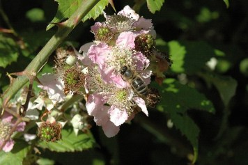 Insects on Bramble