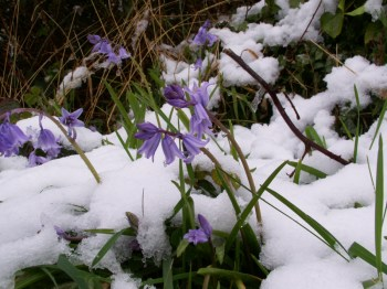 Bluebell in snow