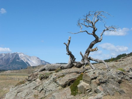 Burmis tree Crowsnest Pass, Alberta, Canada