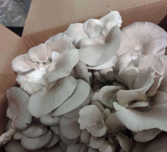 Blue oyster mushrooms are popular among restaurant clientele. (Rocket City Mushrooms)