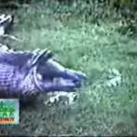 Video ular makan kuda nil