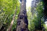 misteri di balik pesona pohon Tarra (11)
