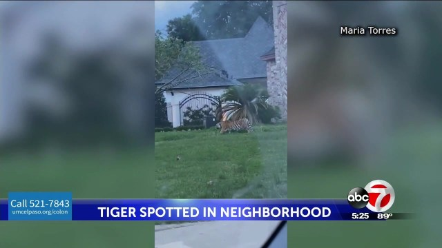 Houston police are searching for a murder suspect out on bond who ran away with a tiger