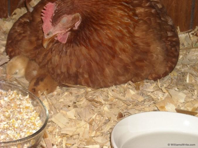 Snoozing Hen and Her Chicks (LaGrange, Georgia - 22 June 2010)