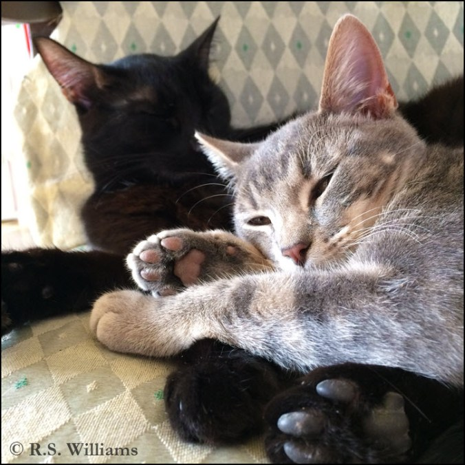 "Two cats snooze together in a chair: the solid black cat in the background, and the smoky-gray ""bull's-eye"" tabby in the foreground, heaped atop his older brother. The black cat's eyes are closed, and its ears out to the sides of its head in relaxation. The gray cat squints at the camera, ears turned forward in interest. Both cats show the ""toe beans"" on one foot; the black cat's toes are dark gray/almost black, while the smoky tabby's toes are a dark pink-gray."