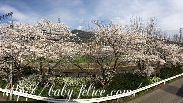 フェリーチェ 桜