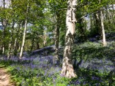 So this is what England does really well: bluebells,