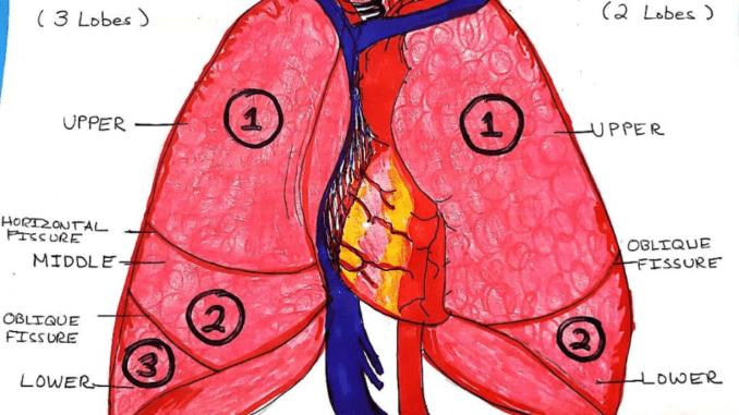 lung_drawing_rachel_clevenger_1